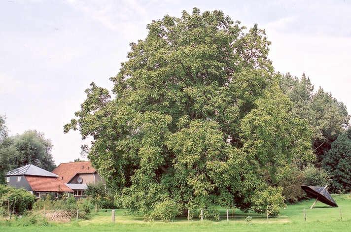 walnotenbomen in nederland